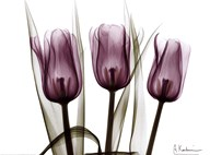 Trio of Tulips I  Fine Art Print
