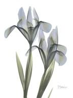 Blue Floral X-ray Iris  Fine Art Print