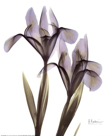 Blue Floral X Ray Iris Fine Art Print By Albert Koetsier