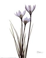 Blue Floral X-ray Rain Lily  Fine Art Print