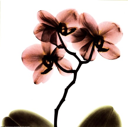 Crystal Flowers X Ray Orchid Fine Art Print By Albert