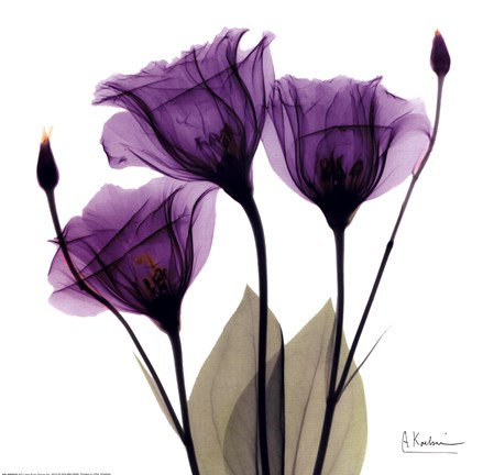 X Ray Royal Purple Gentian Fine Art Print By Albert