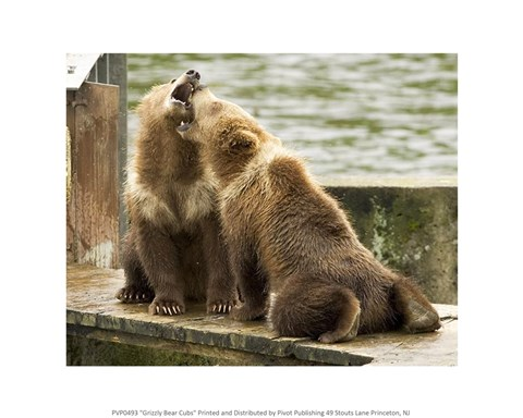 Framed Grizzly Bear Cubs Print