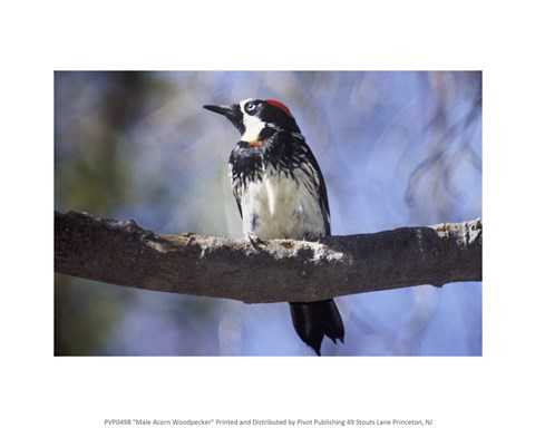 Framed Male Acorn Woodpecker Print