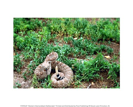 Western Diamondback Rattlesnake Fine-Art Print by Unkno