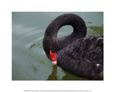 Framed Black Swan Print
