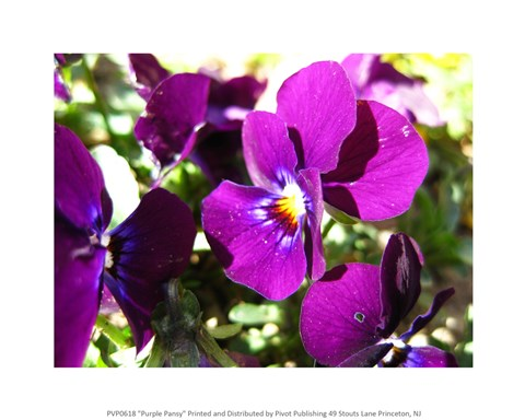 Framed Purple Pansy Print