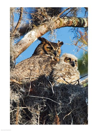 Framed Great Horned Owls Print
