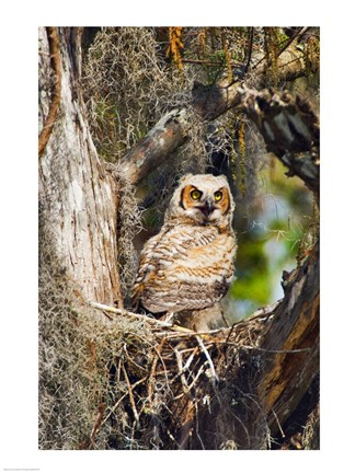Framed Great Horned Owl in a Tree Print