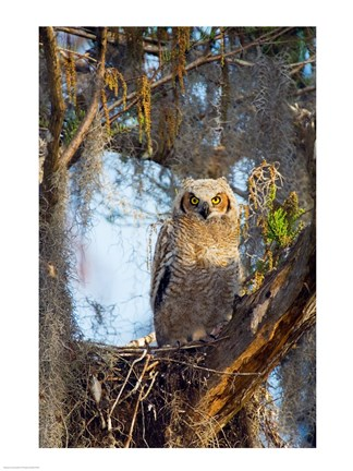 Framed Great Horned Owl Perching on Branch Print