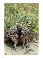 Burrowing Owls  Fine Art Print