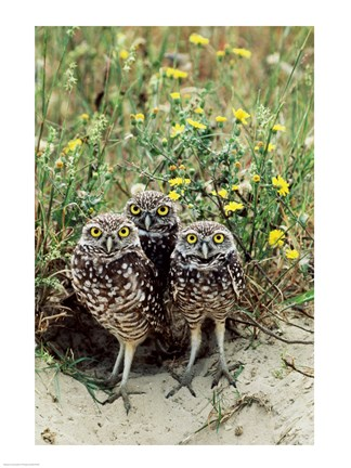 Framed Burrowing Owls Print