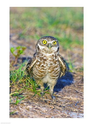 Framed Burrowing owl Print