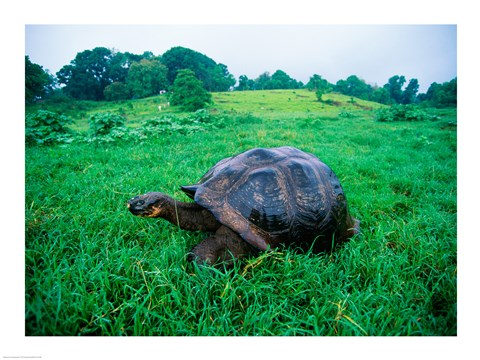 Framed Galapagos Giant Tortoise in a field Print