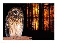 Barred Owl perching on a log  Fine Art Print