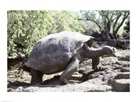 Galapagos Giant Tortoise Galapagos Islands Ecuador