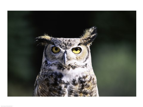 Framed Great Horned Owl Zoomed In Print