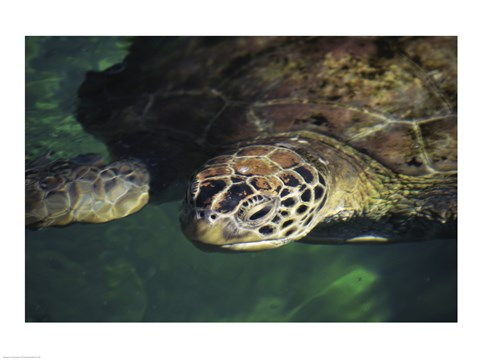 Framed Green Sea Turtle - water surface Print