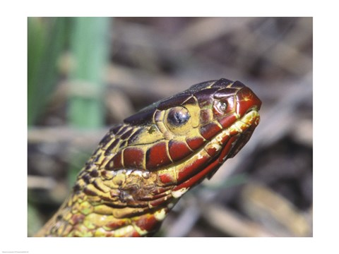 Framed Red-bellied Water Snake Print