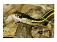 Common Garter Snake