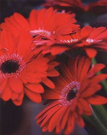 Framed Red Gerbera Daisies I Print