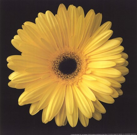 Framed Gerbera Daisy Yellow Print