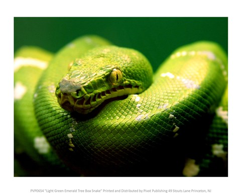 Light Green Emerald Tree Boa Snake Fine Art Print By