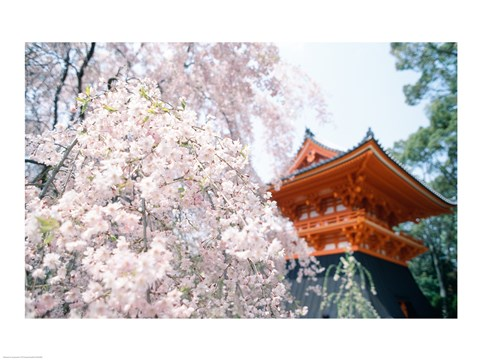 Framed Cherry Blossom tree in front of a temple, Kyoto, Honshu, Japan Print