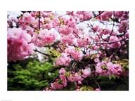 Close-up of cherry blossoms, Sumida River, Asakusa, Tokyo, Japan  Fine Art Print