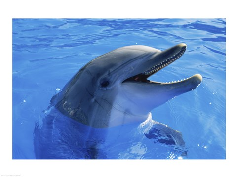 Framed Dolphin Sea World San Diego California USA Print