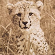 Young Cheetah Art