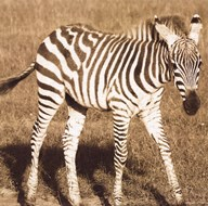 Young Zebra Art