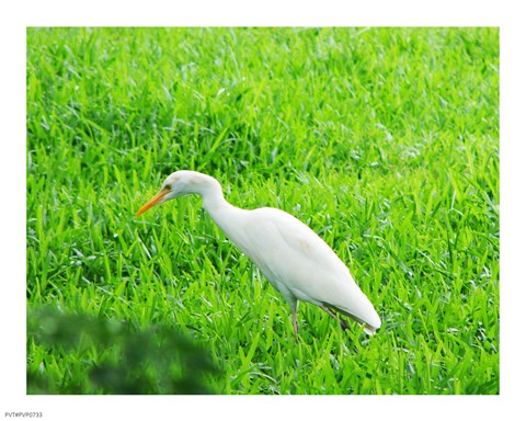 Framed Egret In Field Print