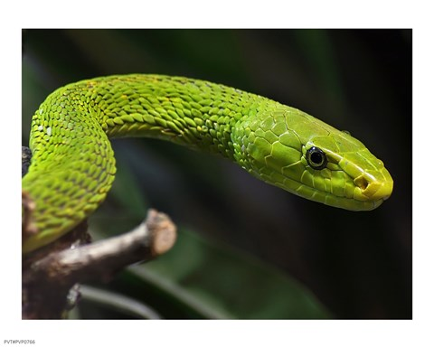 Framed Green Mamba Closeup Print