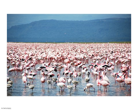 Framed Large Number of Flamingos at Lake Nakuru Print