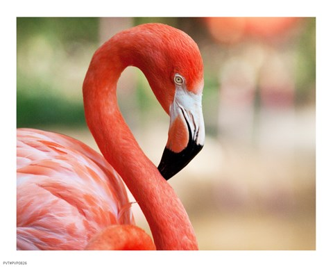 Framed Phoenicopterus Chilensis Fort Worth Zoo, Texas, USA Print