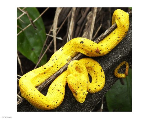 Framed Yellow Eyelash Viper Print