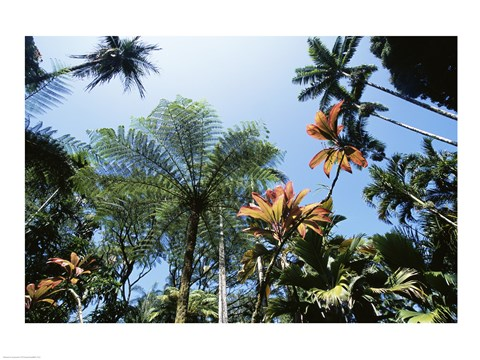 Framed Low angle view of palm trees, Hawaii Tropical Botanical Garden, Hawaii, USA Print