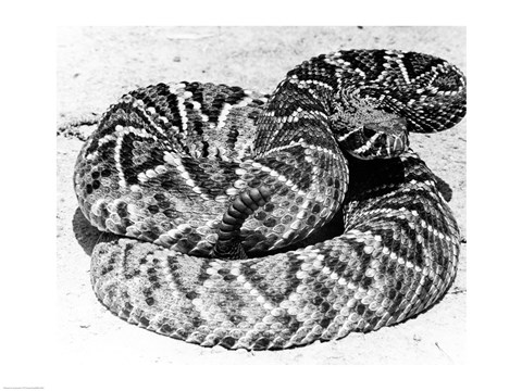 Framed Close-up of a Western Diamondback Rattlesnake (Crotalus atrox) Print