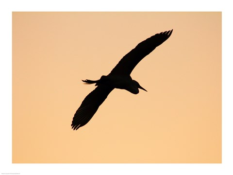 Framed Great White Egret in Flight at Twilight, Venice Rookery, Venice, Florida, USA Print