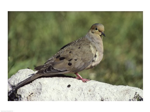 Framed Mourning Dove Print