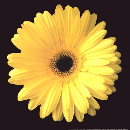 Framed Gerbera Diasy Yellow Print