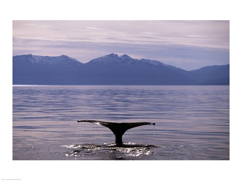 Framed Humpback Whale in Alaska, USA Print