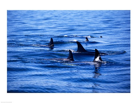 Framed Pod of Killer Whales swimming in the Sea Print