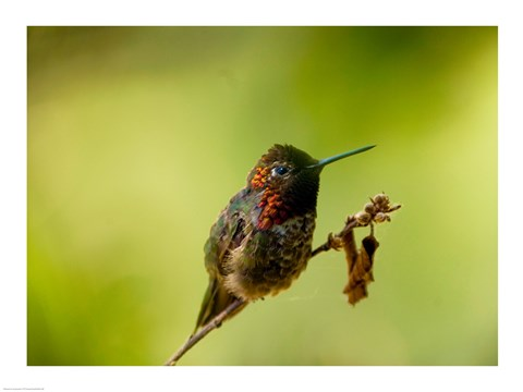 Framed Close-up of a Hummingbird perching on a branch Print