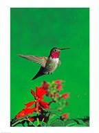 Broad-Tailed hummingbird hovering over flowers, Arizona, USA  Fine Art Print