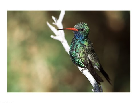 Framed Male Broad-Billed Hummingbird Print