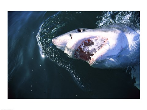 Framed Great White Shark Eating Print