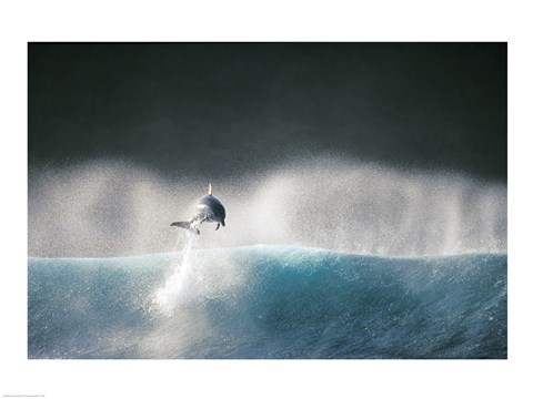 Framed Dolphin breaching in the sea Print