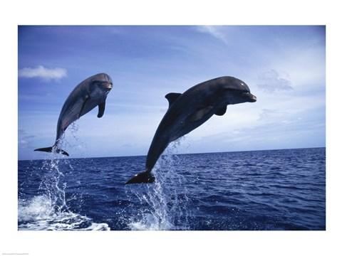 Framed Two Bottle-nosed Dolphins jumping out of the water Print